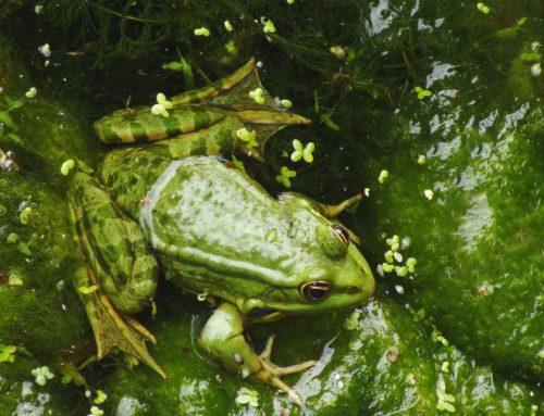 La grenouille dans la marmite d'eau